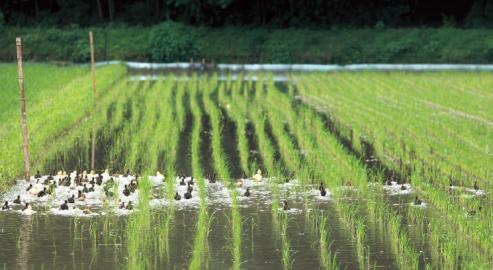 canards et rizières